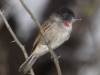 rose-throated-becard-copy