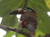 135-plate-billed-mountain-toucan