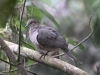 137-white-tipped-dove