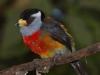 145-toucan-barbet