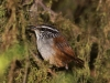 153-gray-breasted-wood-wren