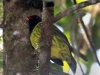 155-green-and-black-fruiteater