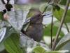 163-dusky-bush-tanager