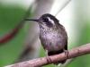 183-speckled-hummingbird