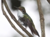 185-booted-rackettail-female