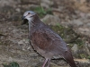 191-white-throated-quail-dove
