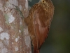 195-strong-billed-woodcreeper