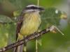 201-golden-crowned-flycatcher