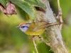 207-russet-crowned-warbler2