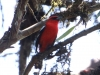 213-white-winged-tanager2