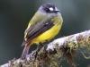 217-ornate-flycatcher2