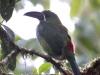 219-crimson-rumped-toucanet
