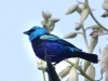 227-blue-headed-tanager
