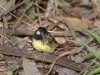 229-yellow-bellied-seedeater