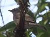 239-ecuadorian-thrush