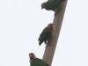 253-rose-faced-parrots