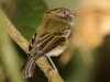 261-scale-crested-pygmy-tyrant