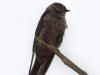 263-white-thighed-swallow