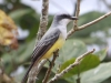 273-snowy-throated-kingbird