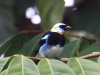 275-golden-hooded-tanager