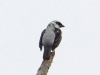 279-gray-and-gold-tanager