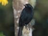 287-scrub-blackbird2