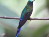 309-violet-tailed-sylph3