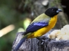 Black-chinned mountain-tanager2