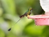 Booted rackettail
