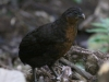 Dark-backed wood-quail