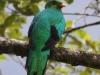 Golden-headed quetzal3