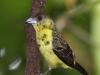 Lemon-rumped tanager female