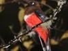 Masked trogon female