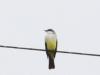 Snowy-throated kingbird