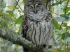 barred-owl2