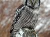 northern-hawk-owl
