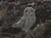 short-eared-owl2