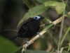 bare-crowned-antbird