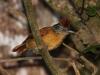 barred-antshrike-female