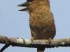 barred-puffbird2