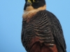 bat-falcon3