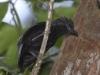 black-antshrike
