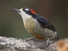 black-cheeked-woodpecker-female