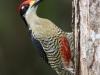 black-cheeked-woodpecker-male