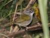 black-striped-sparrow