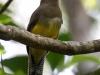 black-throated-trogon-female