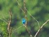 blue-cotinga-distant