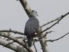 blue-ground-dove