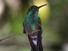 bronze-tailed-plumeleteer