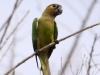 brown-throated-parakeet
